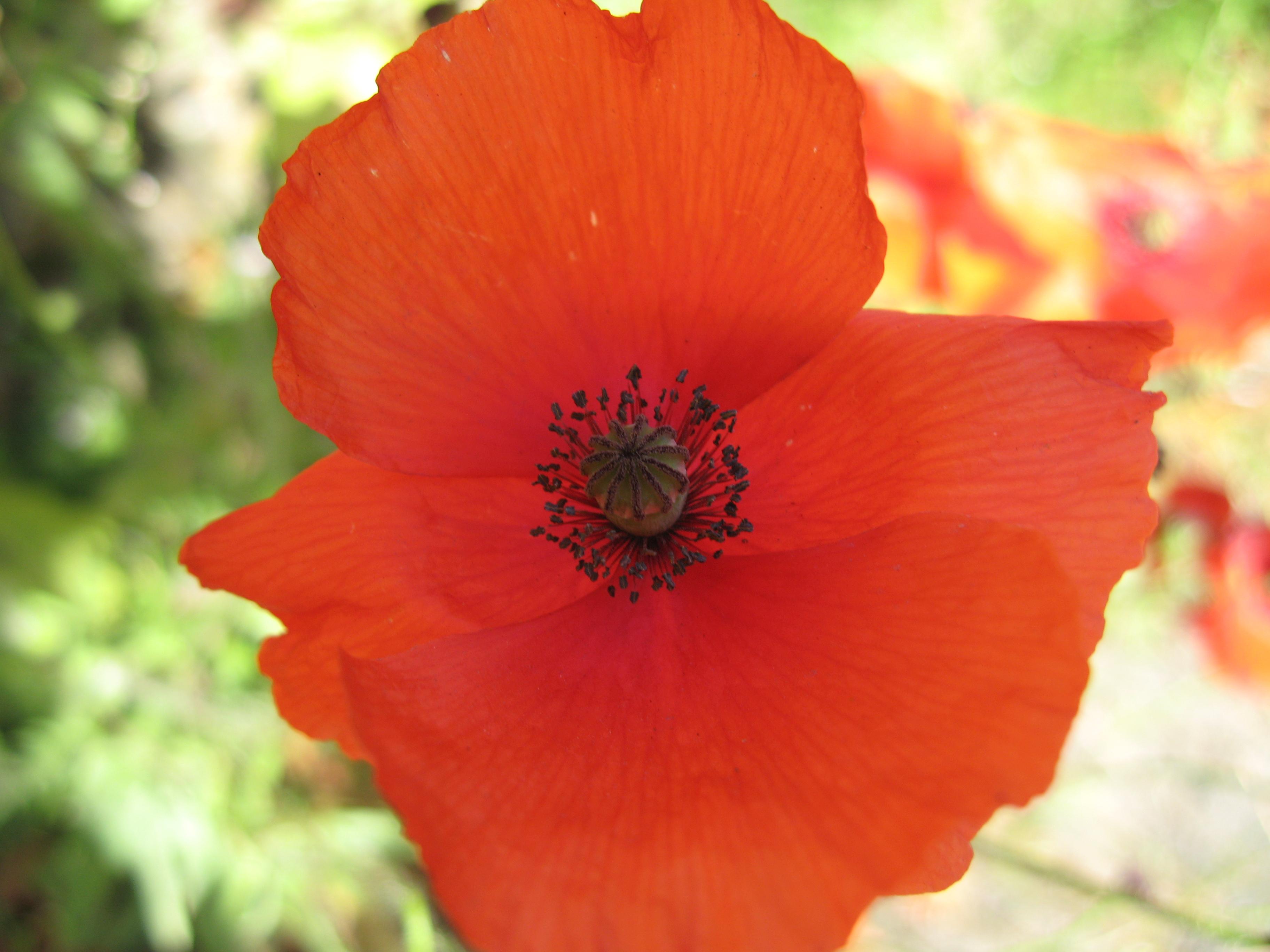 Poppy Plant Lore