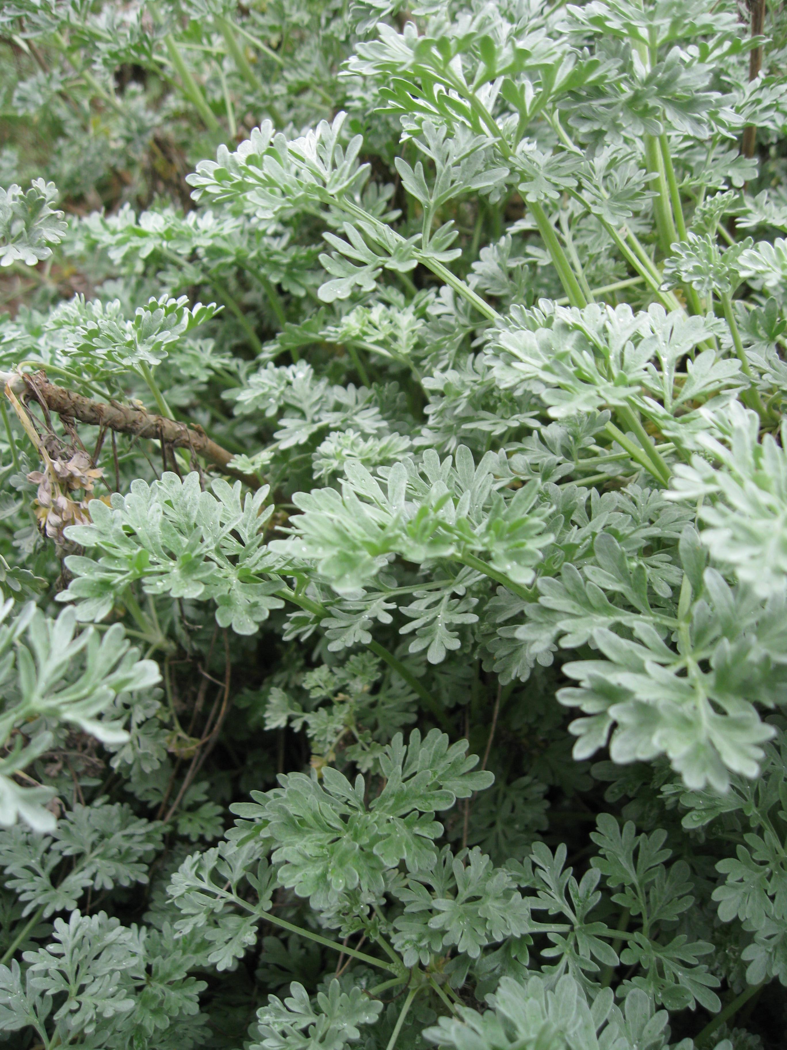 Wormwood | Plant-Lore