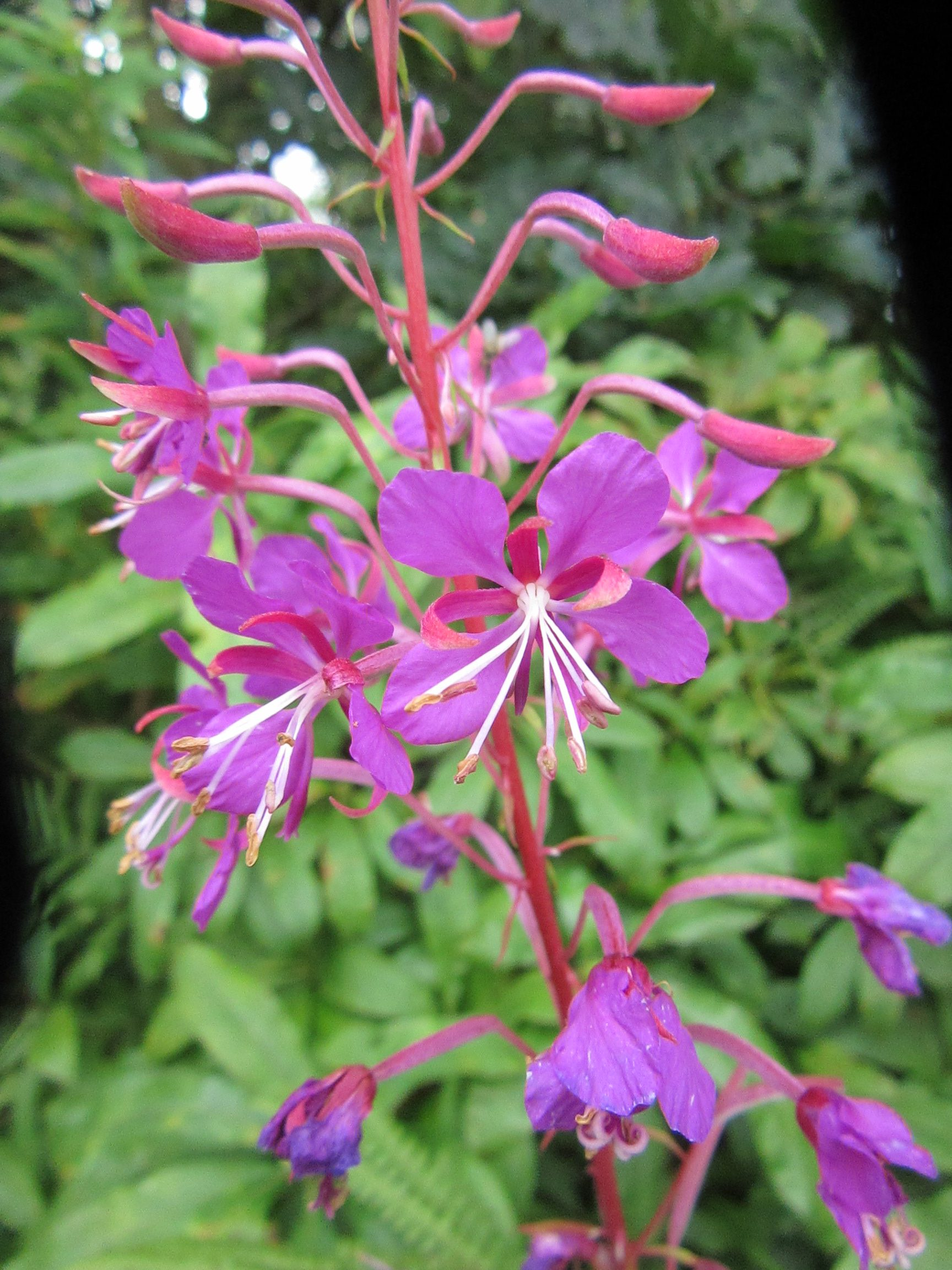 Local Names Of Rosebay Willowherb Plant Lore