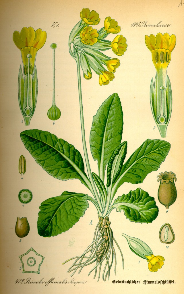 Illustration_Primula_veris0