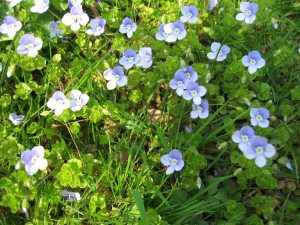 As A Small Child I Believed That If Picked The Blue Flower Speedwell Birds Would Come And Peck My Eyes Out This Im Sure Came From