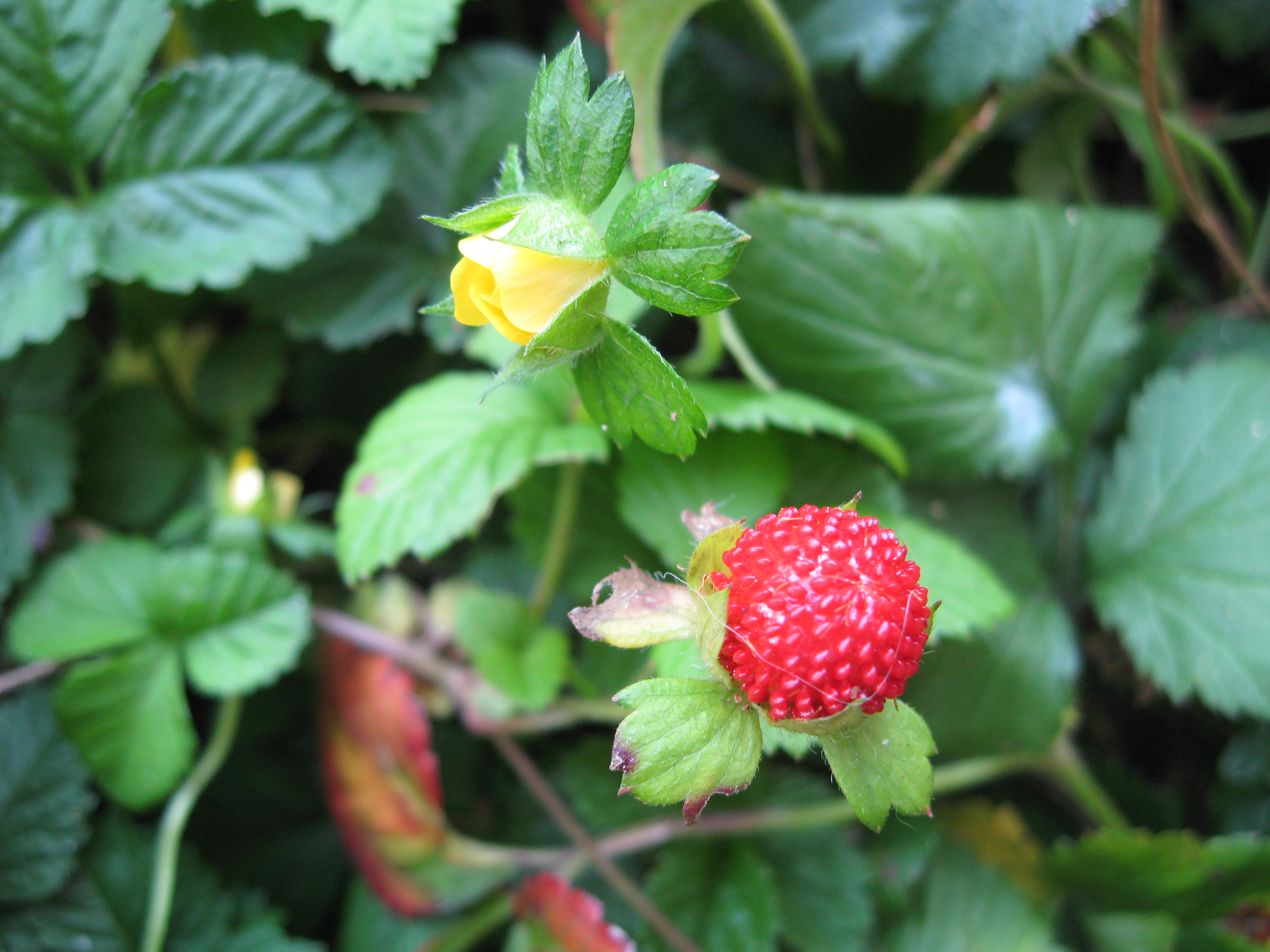 Yellow flowered strawberry plant lore plant picture mightylinksfo