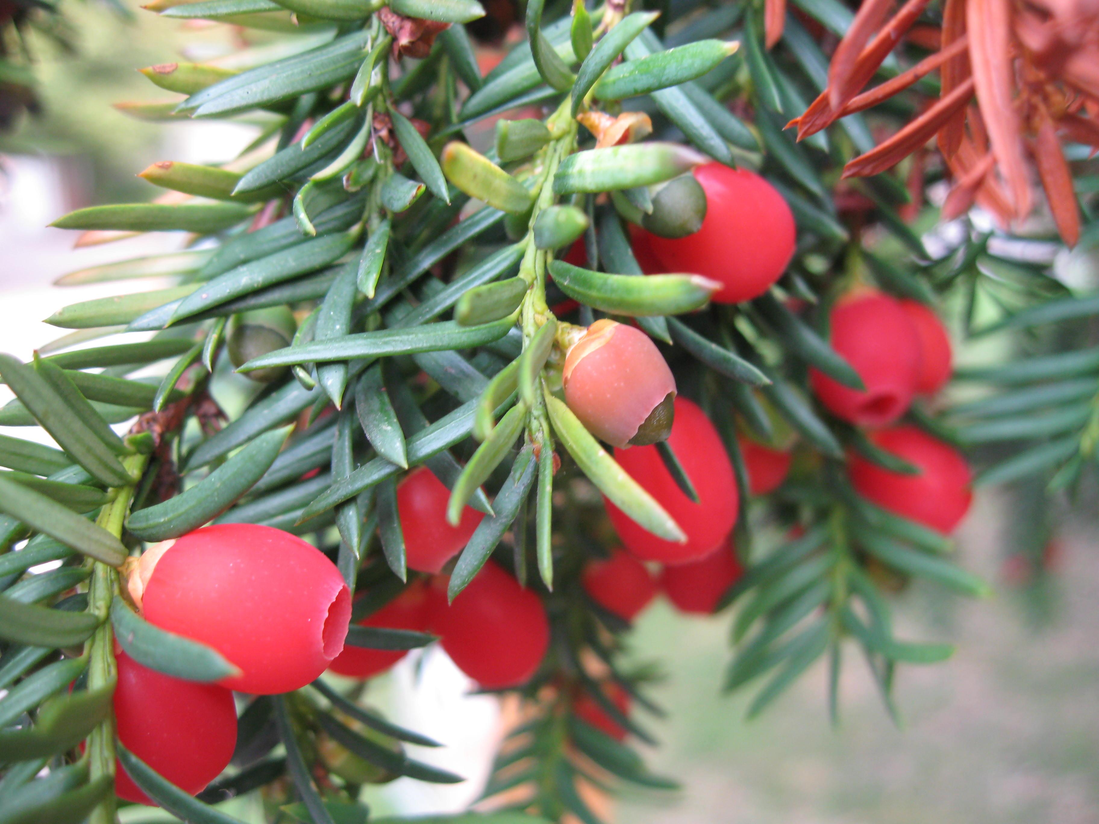 Yew Plant Lore